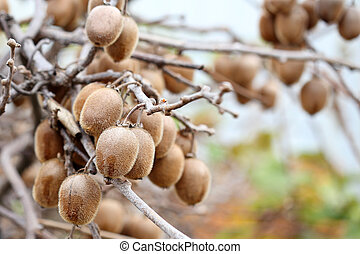 Close up of Kiwi fruits on a branch