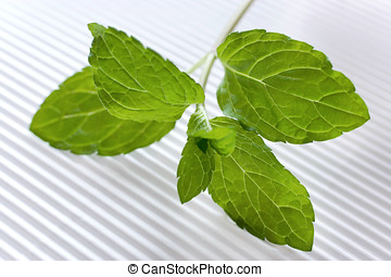 mint / Mentha pipenta  -  mint / Mentha pipenta