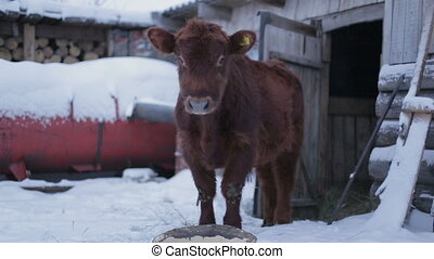 Male cow on ground pushing. Farm ranch  cows eating hay during winter. Gentleman ranching operation for self sufficiency.