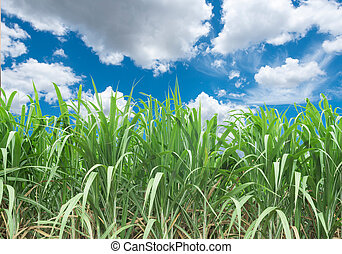 Sugarcane is grown on the farm with the sky backdrop