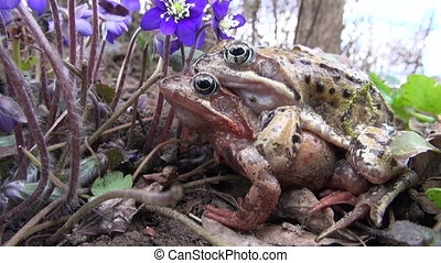 two copulating frogs in spring - Flowering hepatica violet...