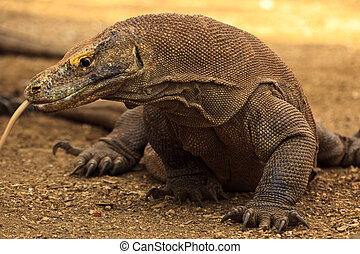 Komodo Dragon Attacking with Split Tongue Out - Komoto...