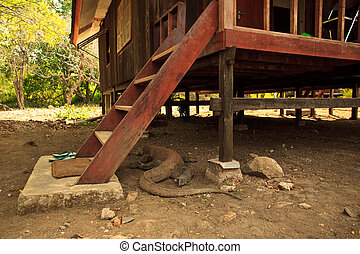 Komodo Dragon(Varanus komodoensis) Under Steps of House -...