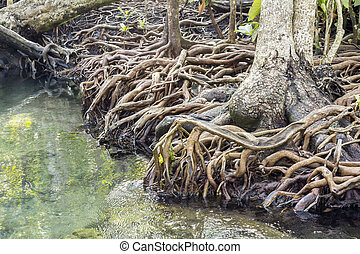 Mangrove forests in Krabi ,Thailand - Old mangrove forest...