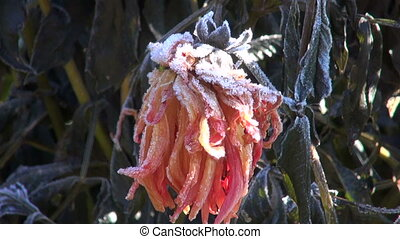Frozen dahlia plant in autumn - Orange frozen dahlia plant...