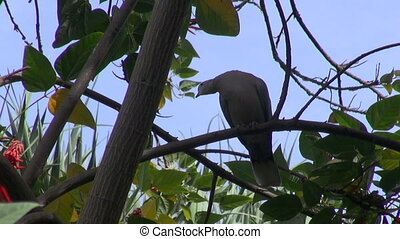 Eurasian Collared Dove perched on the tree in tropical park...
