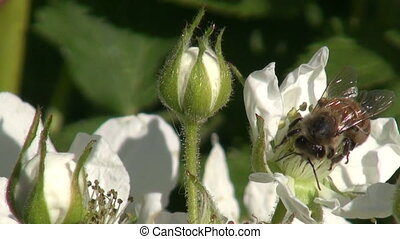 Bee picking pollen on blackberry - Worker bee pollinating...
