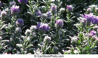 Frost covered asters - Frost covered violet asters flowering...