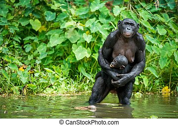 The chimpanzee Bonobo with cub in the water At a short...