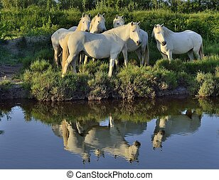 Portrait of the White Camargue Horses reflected in the water...