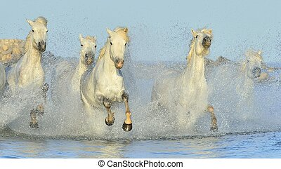 Herd of White Camargue Horses running on the water . Parc...