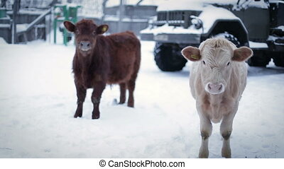 Two male cow on the ground, looking at the camera . Farm in winter.