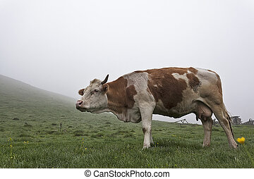Cow on a green meadow 6 - Cow in the meadow in the mist on...