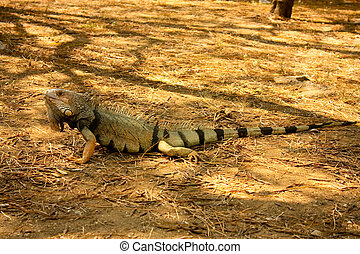 Iguana is a genus of lizard native to tropical areas of...