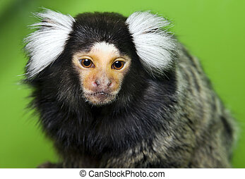 monkey Marmoset - Small monkey with white fluffy ears