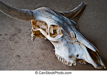 Old weathered cow skull