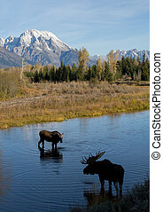 bull cow moose courting in water under mountain - bull and...