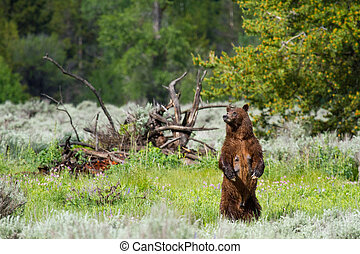 grizzly bear mother standing looking left, dead wood and...