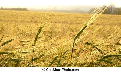 ears of ripe wheat