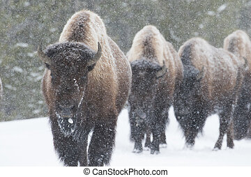 bison herd walking in snow - four bison walk toward the...