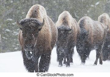 bizon, stado, pieszy, w, Śnieg,