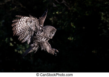 great gray owl ready to attack - a hunting great gray owl...