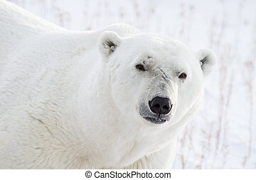 polar bear portrait and scars - a male polar bear with face...