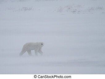 polar bear whiteout - a polar bear looks towards the camera...