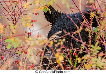 black bear hiding in colorful bushes - a black bears eye...