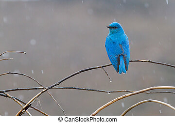 Mountain Bluebird In the Rain - a neon blue mountain...