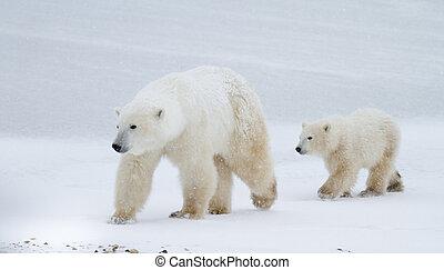 Polar bear mom and cub walking on the ice - a polar bear mom...