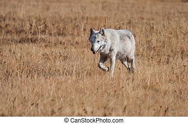 white wolf walking in yellow grass - a wild white wolf walks...
