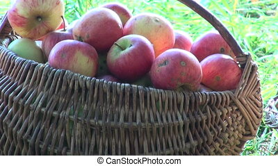 baskets of apples by the apple tree