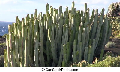 Plants growing on lava - Opuntia cactus, bushes and other...