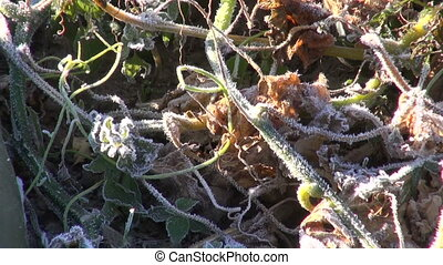 cucumbers in frosted farm garden - Two green cucumbers on...