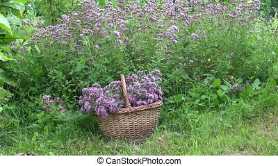 Oregano in wicker basket in garden - Freshly picked oregano...