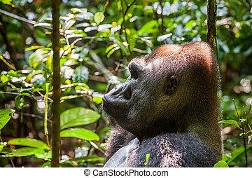 Portrait of a western lowland gorilla (Gorilla gorilla...