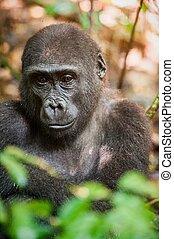 Lowland gorilla in jungle Congo Portrait of a western...
