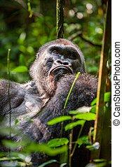 Portrait of a western lowland gorilla Gorilla gorilla...