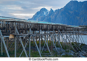 Rows of dried cod in Lofoten