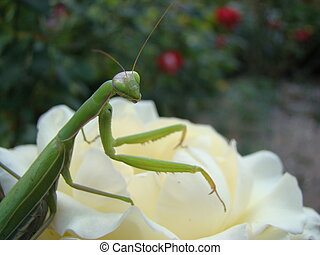 mantis climbs on a flower,posing for the camera