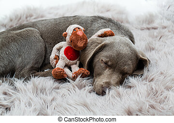 Who's that stuffed animal? - brown and silver labrador puppy...