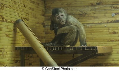 Monkey Scratched In The Zoo - monkey scratching in a cage (...