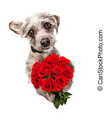 Cute Dog With Dozen Red Roses - Overhead view of an adorable...