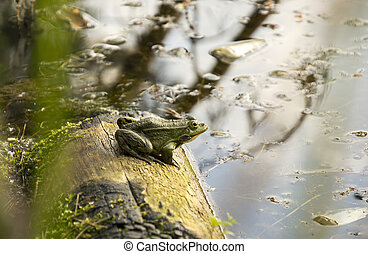green frog sitting on a log in a lake round