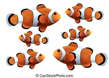 Clownfish on white background