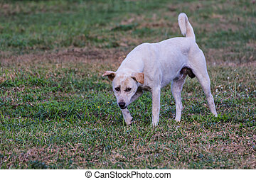 thai white stray dog in lawn
