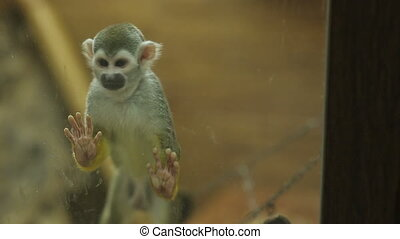 Squirrel Monkey Behing Glass - monkey behind the glass in...