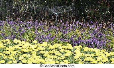 Watering flowers - Watering flowers with Springer in garden...