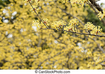 Asiatic dogwood flowers in front of flower blurs